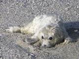 A premature Harbor Seal pup on the shore of Monterey Bay.